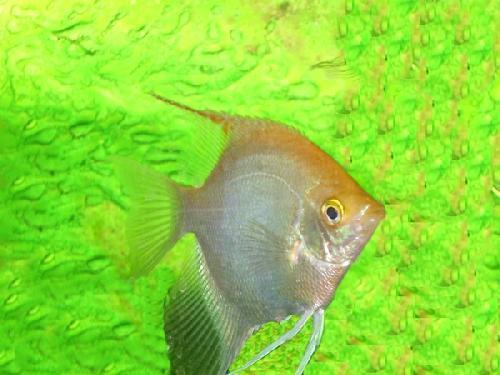 Peces de agua caliente diario animales for Agua para peces