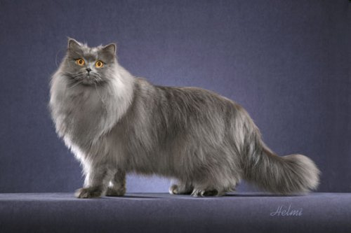 Gato britanico pelo corto criadero
