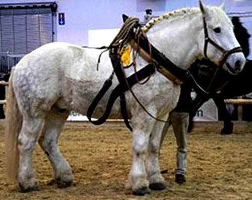 caballo-percheron