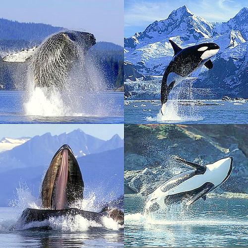 canto de ballenas