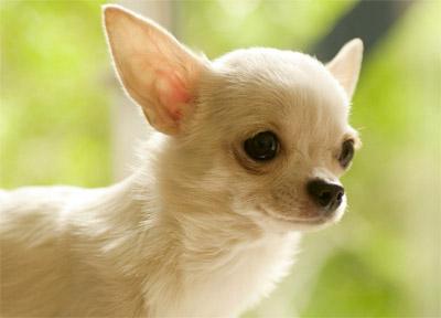 chihuahua foto perfil