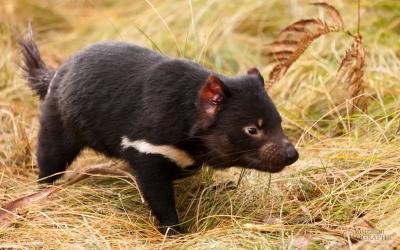 demonio tasmania