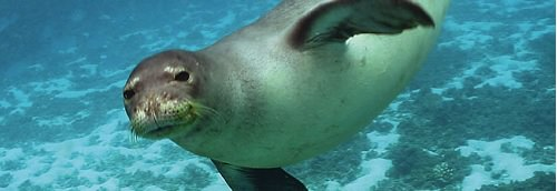 foca monje caribe