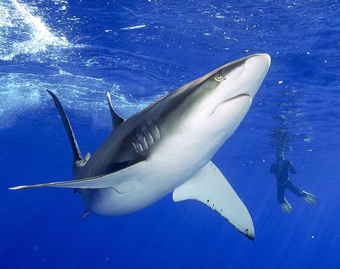 fotos de tiburones 2
