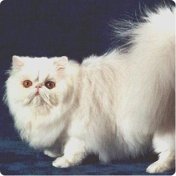 gato-angora