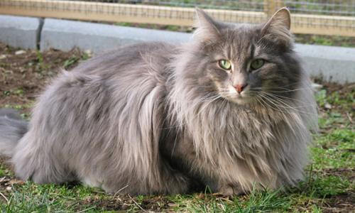 Foto del peludo gato bosque de noruega