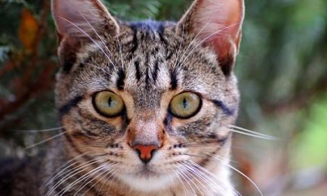 gato europeo pelo corto