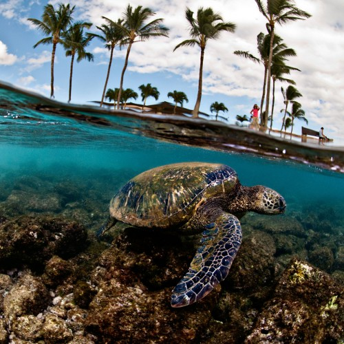 green-sea-turtle-hawaii