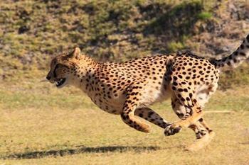 Fotografia de guepardo corriendo