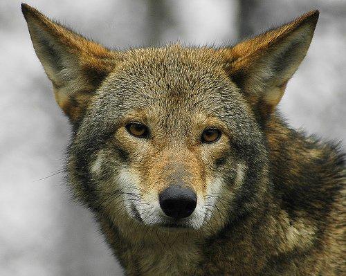 lobo-en-extincion