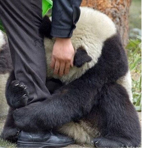 oso_panda_asustado