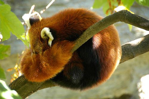 panda-rojo1