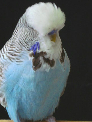 Foto de periquito ondulado azul