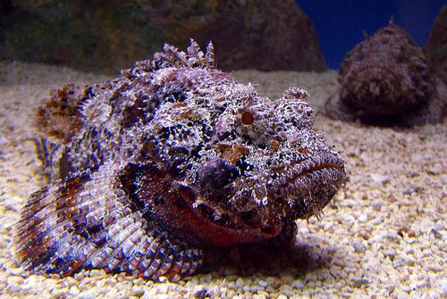 pez piedra