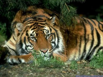 Foto de un tigre tumbado