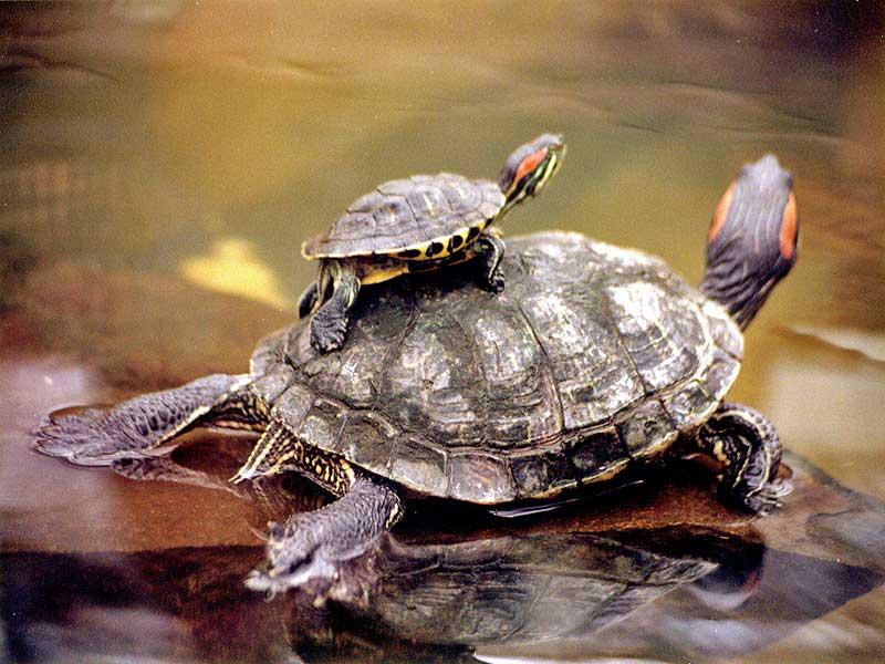 tortugas_acuaticas