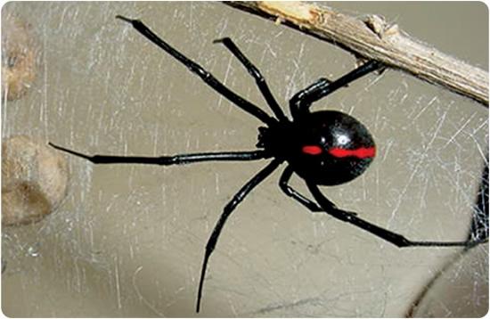 viuda negra con franja roja araña